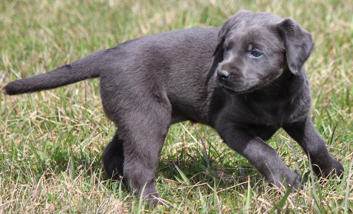 Akc Silver Female Lab Puppy Marion Ohio Dbg Dogs Puppies Usa