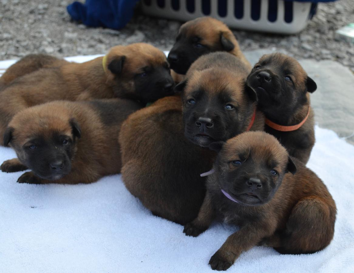 Belgian Malinois Puppies AKC registered | Bethel, Ohio | DBG Dogs
