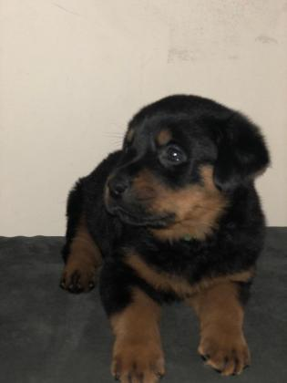 1 female akc rottweiler puppies available
