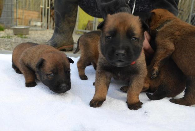 Belgian Malinois Puppies AKC registered