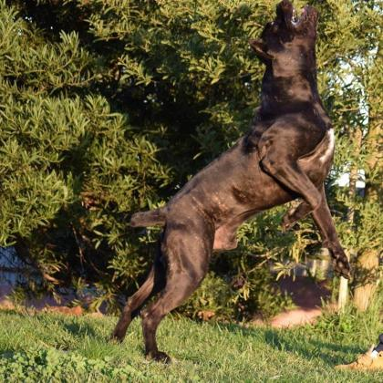 Cane Corso For Stud Champion import