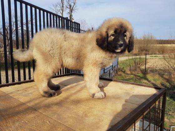 Caucasian Ovcharka puppy girl pure breed with papers