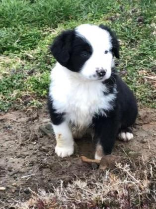 CKC registered standard australian shepherd puppies. Black tri with blue eyes.