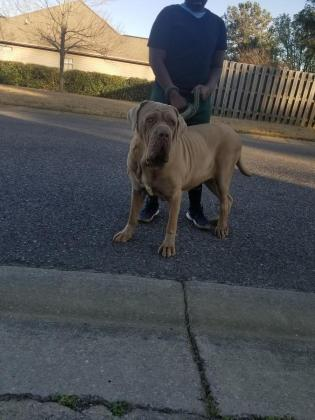 Neapolitan Mastiff Female