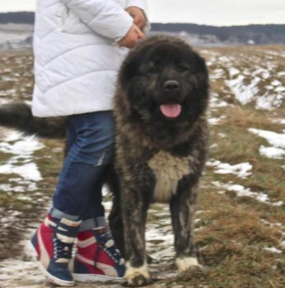 Lion's Caucasian Shepherd Kennel