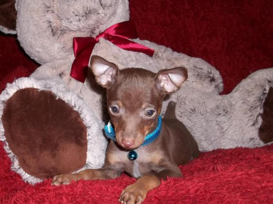 Min Pin pups various colors