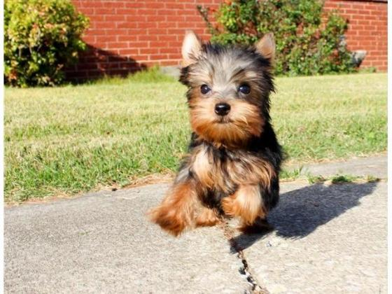 Very Tiny Teacup Yorkie Puppies For Sale