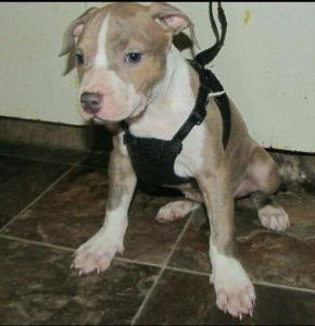 2 beautiful pure breed American Pitbull terror puppies