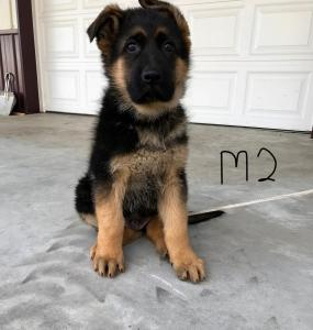 AKC German Shepard European imported line
