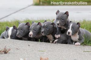 American Bully puppies available now