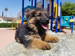 Long Coat German Shepherd female puppy