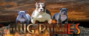 NWG Bullies - Tri color American Bullies