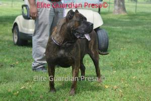 Presa Canario puppies coming soon