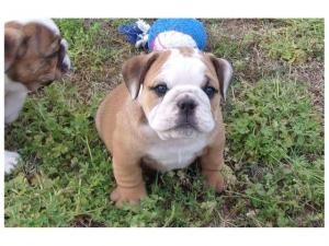 Registered English Bulldog Puppies Available