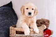 AKC Golden Retriever Champion-line male puppy
