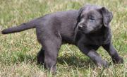AKC silver female lab puppy