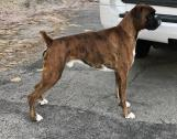 Proven-Health tested Boxer Grand Champion Brindle stud