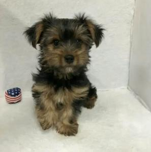Teacup Yorshire - Yorkie terrier