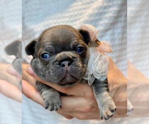 French Bulldog Litter of Puppies For Sale in SACRAMENTO