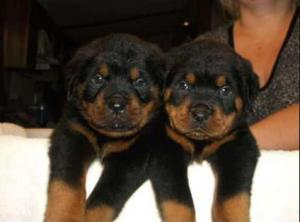 Rottweiler puppies for sale in TEXAS