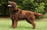 Flat Coated Retriever