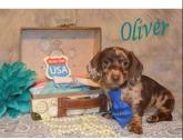 Upcoming Summer Litter of Dachshund Puppies