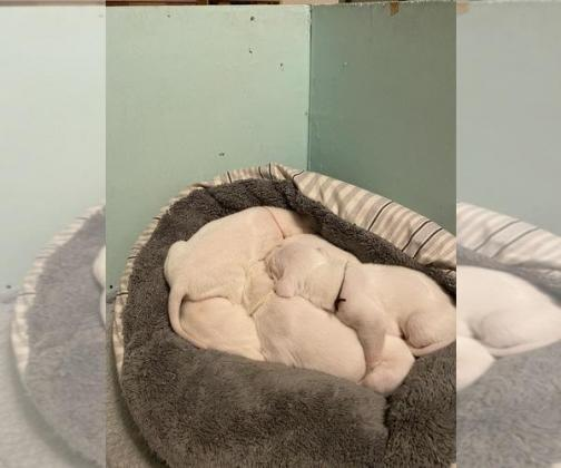 Dogo Argentino Litter of Puppies For Sale